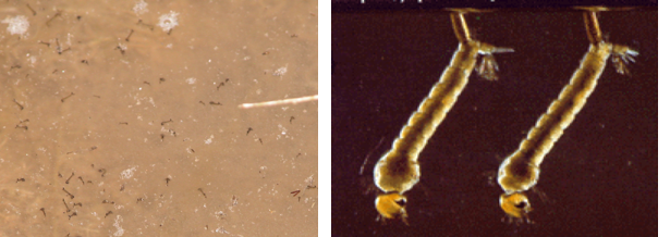 Larval Stages
